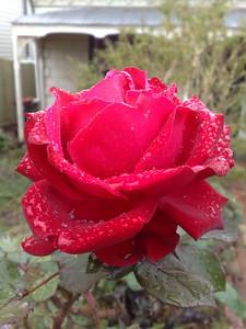 20090609_1201_470 rose
