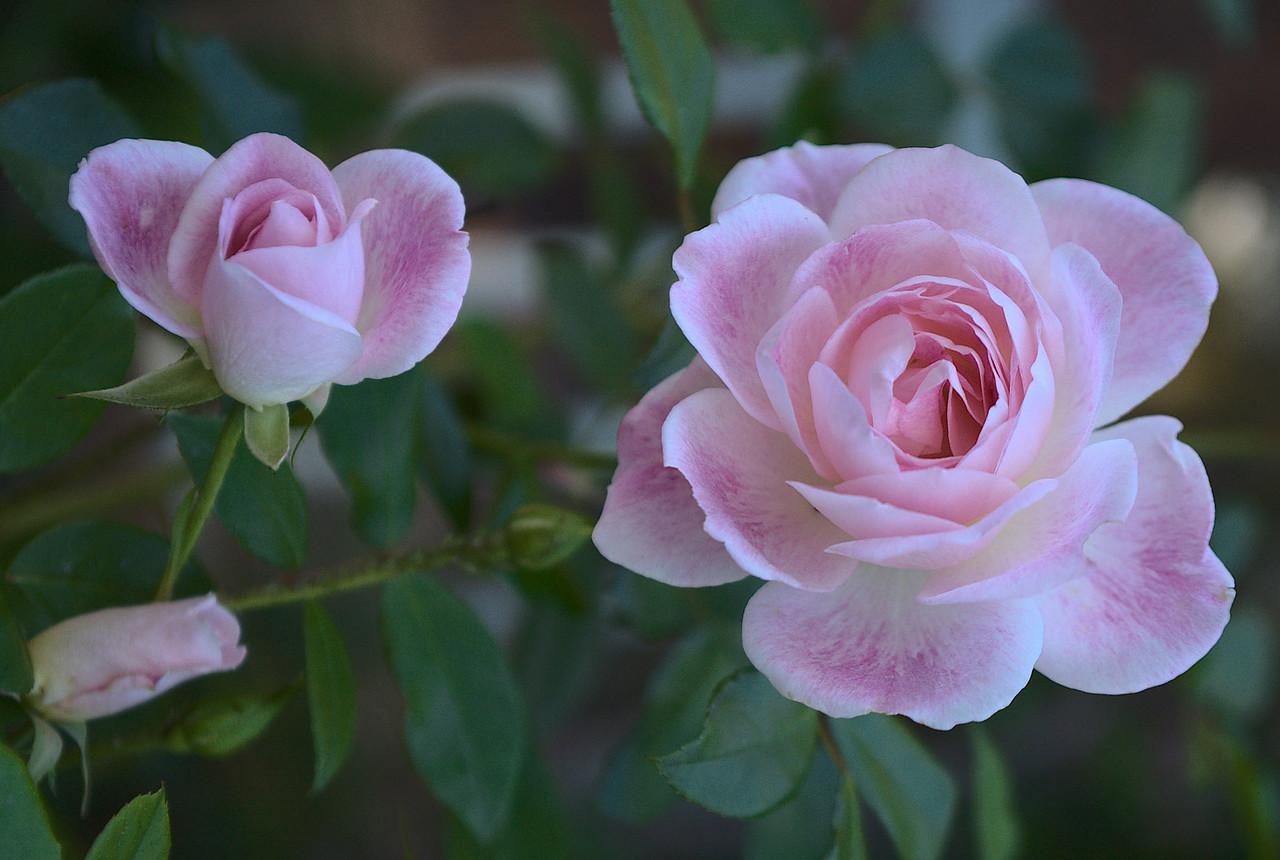 20090430_1701_2567 rose