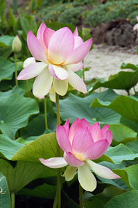 20100106_a18 Lotus at the Blue Lotus Water Gardens. This photograph (and all photographs with a letter designation after the date) taken by Stephen S.C. Fong with a Sigma SA-300N 35 mm film camera and then scanned.