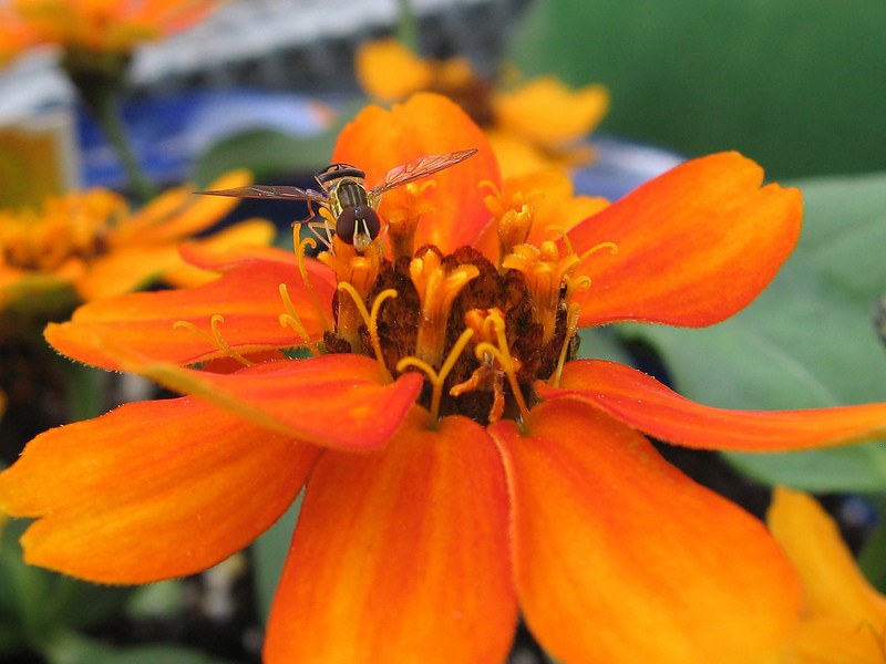 Hover fly on creeping zinnia.