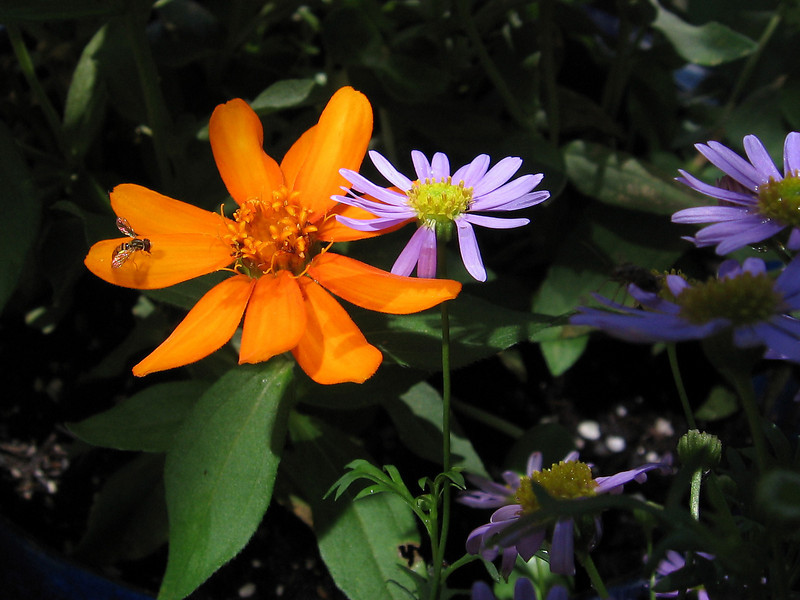 A hover fly, orange zinnia and blue daisy - all in one shot.