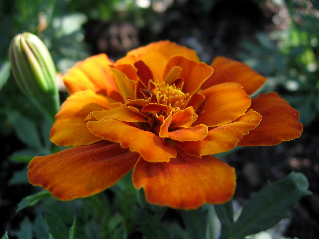 Orange marigold.