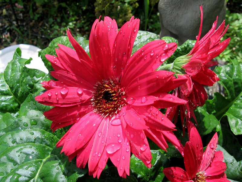Red Gerbera Daisy after a rainy day.