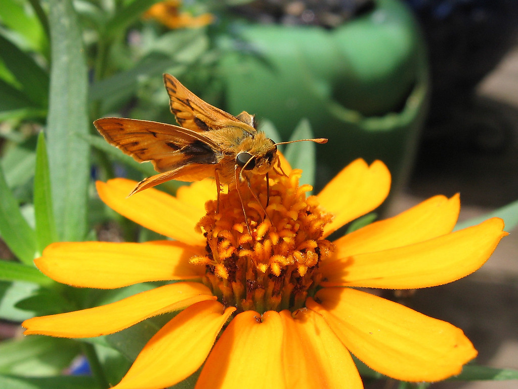 Skipper on the yellow zinnia.