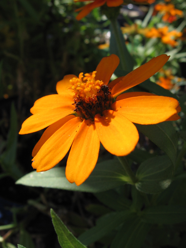 Orange zinnia in the sunlight.