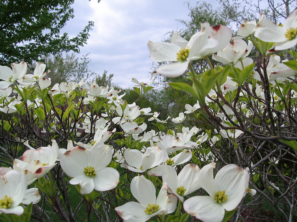 It was rainy this morning but the dogwood flowers were a bright spot in the yard.