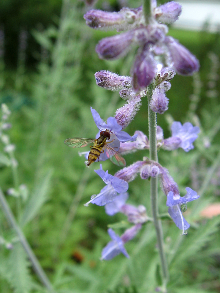 Hoverfly sipping nectar from the Russian sage after a thunderstorm.