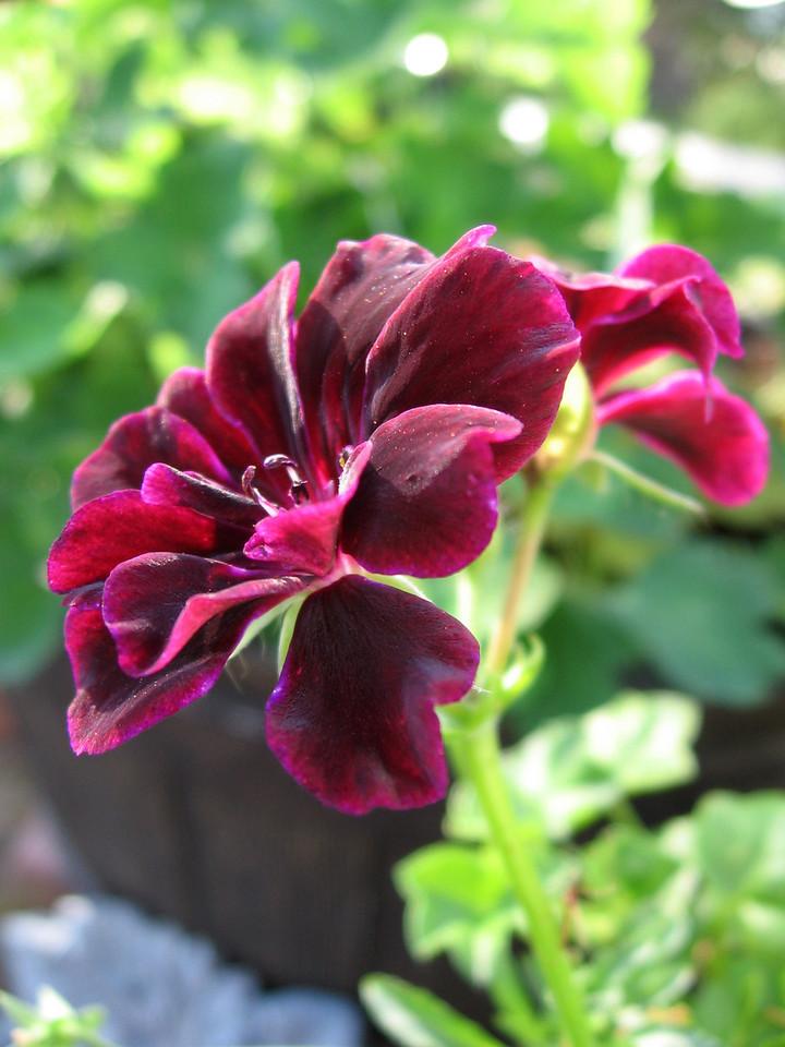 Burgundy geranium.