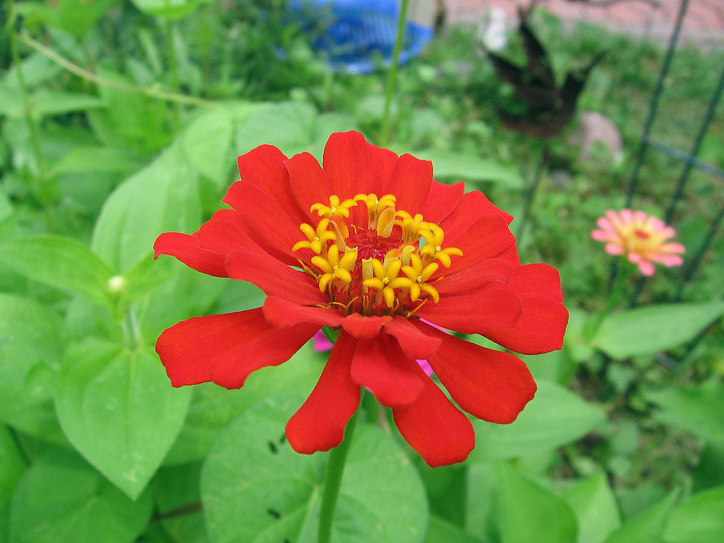 A very red zinnia.