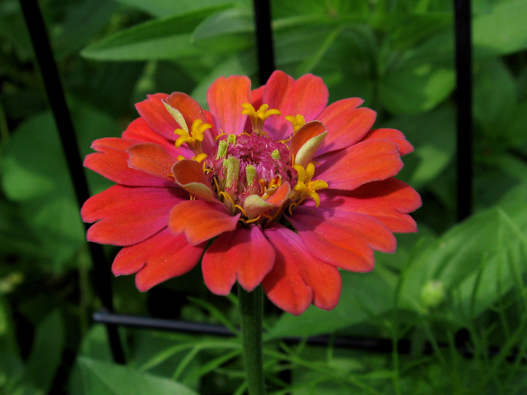 Red-orange zinnia.
