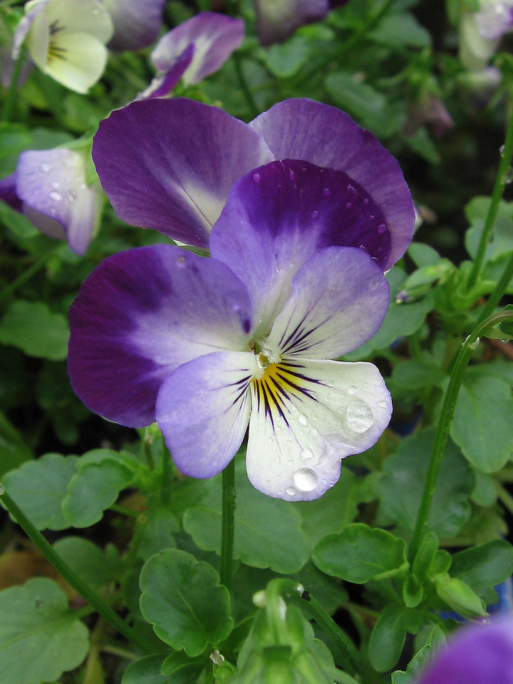 Purple and white pansy with raindrops.