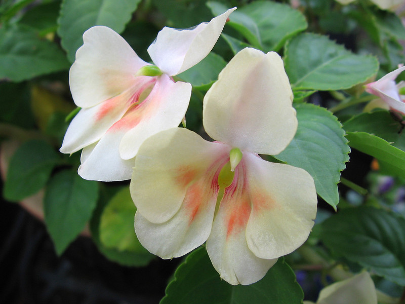 Despite the heavy rains and heat, this impatiens has held up very nicely.