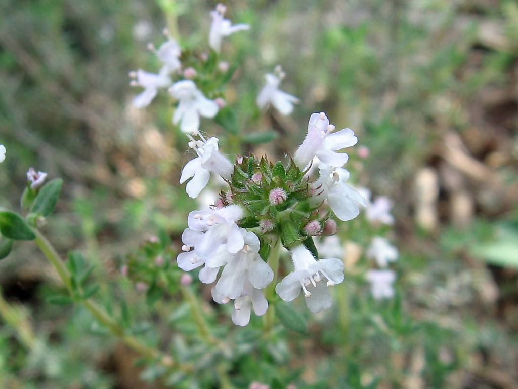 The flowers of an orange scented thyme. These are very small flowers.