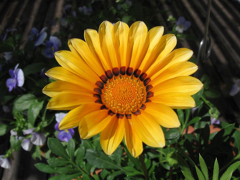 A newly opened yellow gazania.