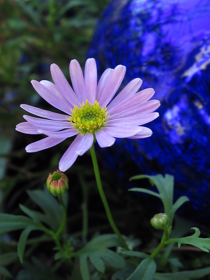 Swan River Daisy comes back in the cool of September.