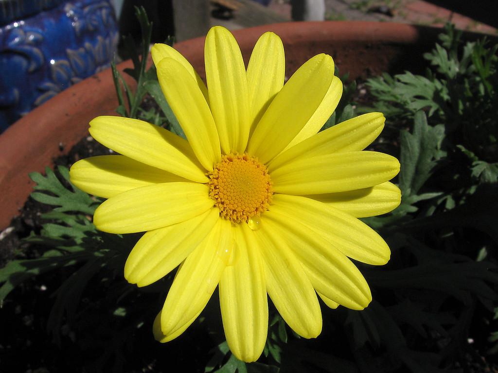 Marguerite Daisy - Butterfly (Argyranthemum frutescens)