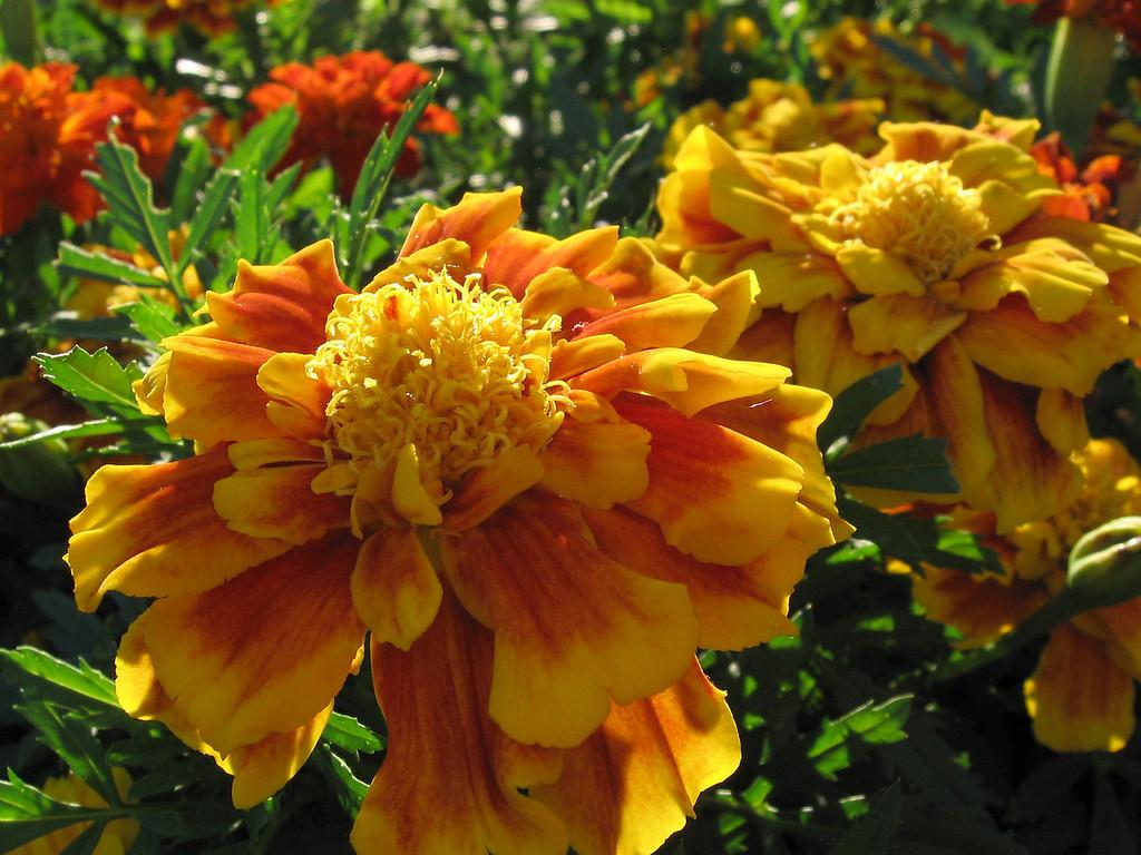 Marigolds taken against the setting sun.