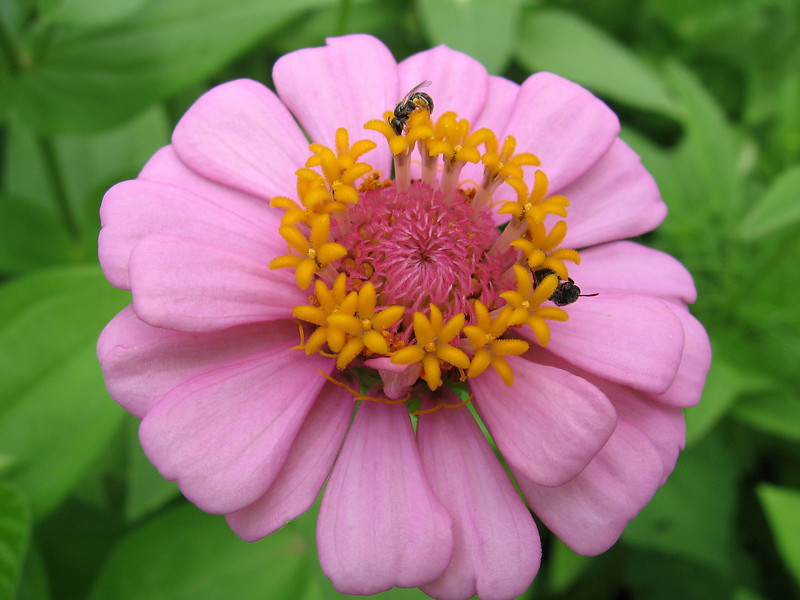 Soft pink zinnia and small bees.