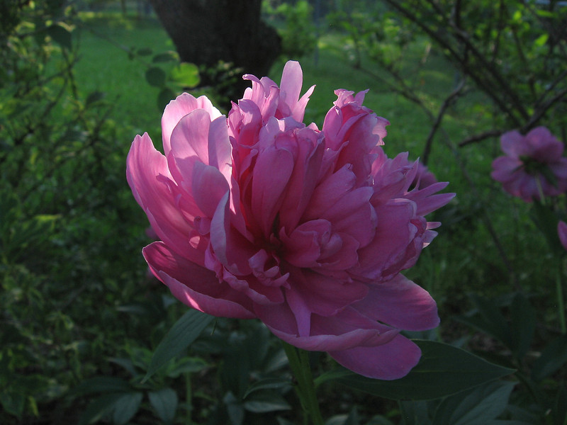 Pink and fragrant peony. <br /> This was taken as the sun was setting behind the trees in the woods.