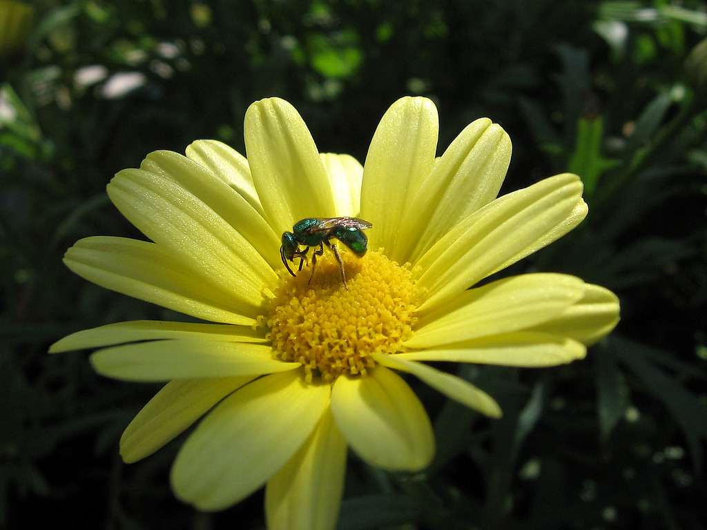 Marguerite Daisy with bottle-green bee.