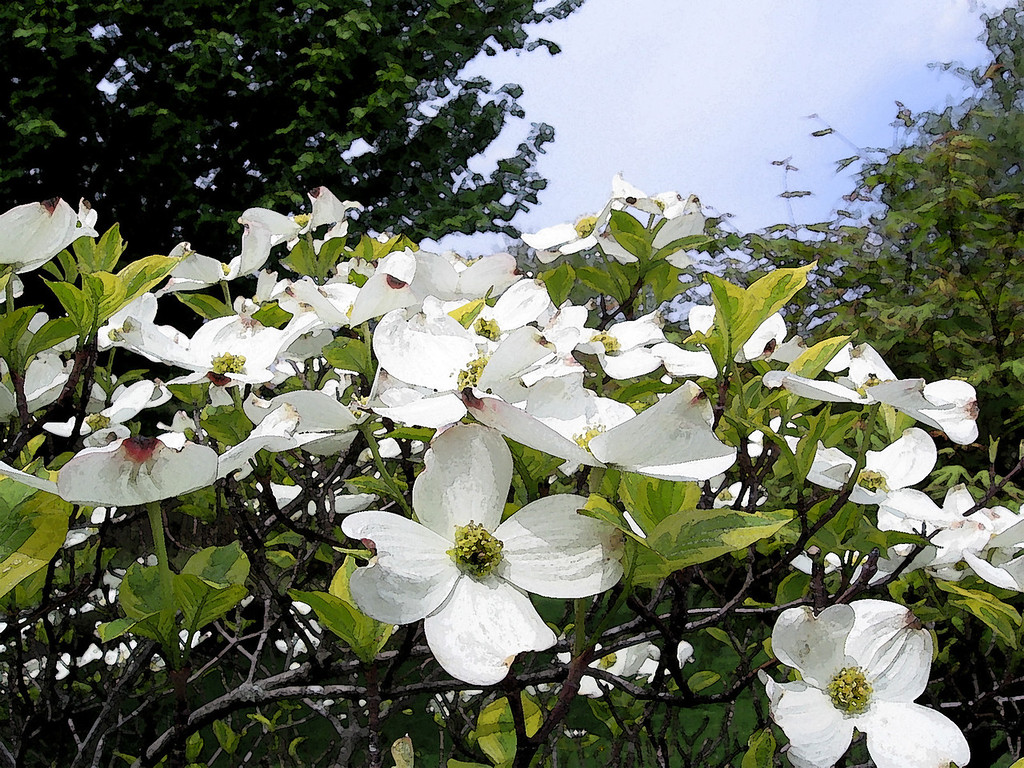 Dogwood in bloom. Photo shopped a bit.