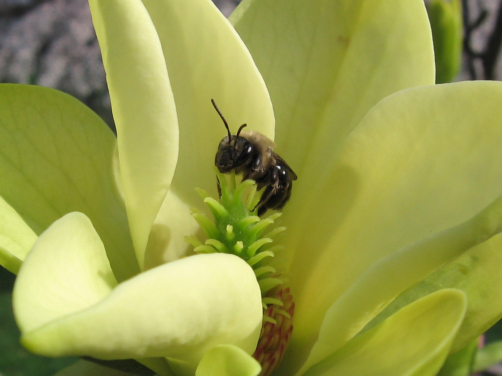 A closer view of the honey bee inside the yellow flowered magnolia tree. <br /> It was very windy and the bee was hanging on for dear life.