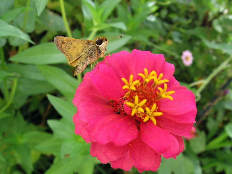 A little skipper butterfly visiting the zinnia.