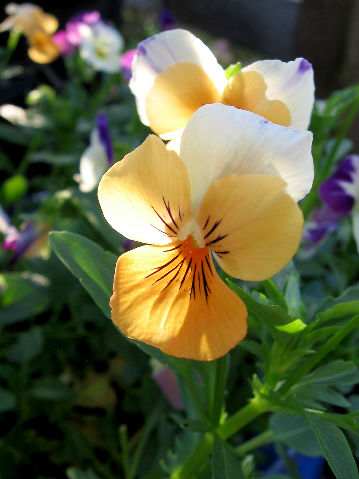 Violas in the late afternoon.