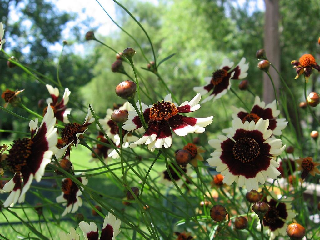 Coriopsis