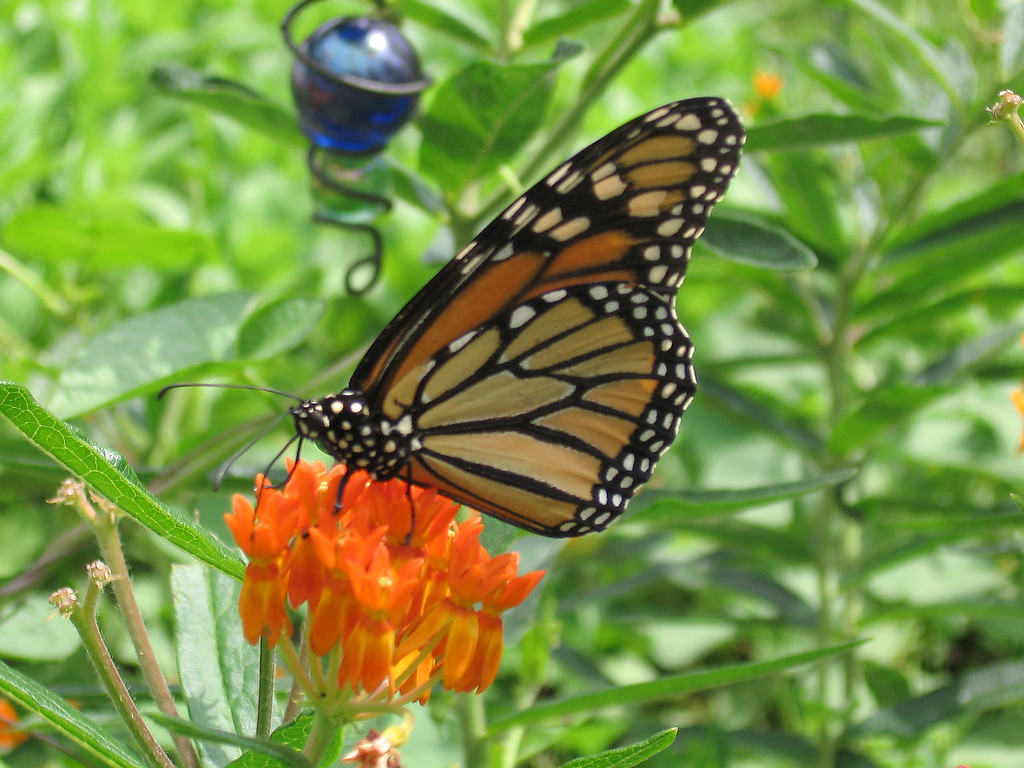 Monarch Butterfly, orange asclepia flowers and blue glass marble.