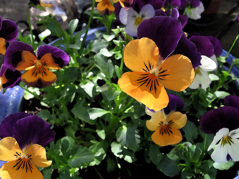 Violas with a watercolor filter applied.