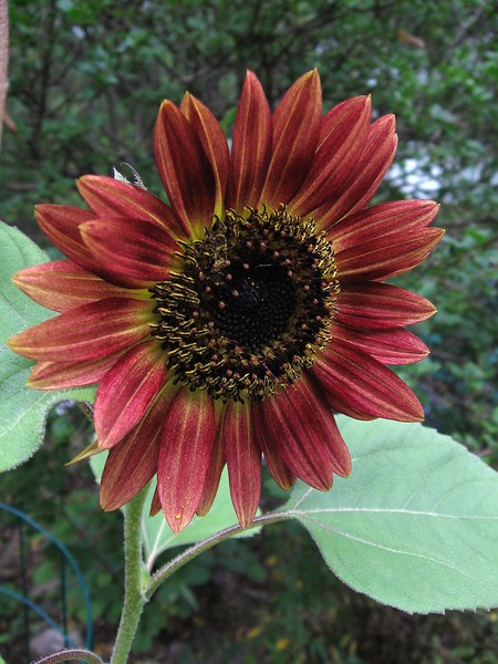 Rustic Red Sunflower