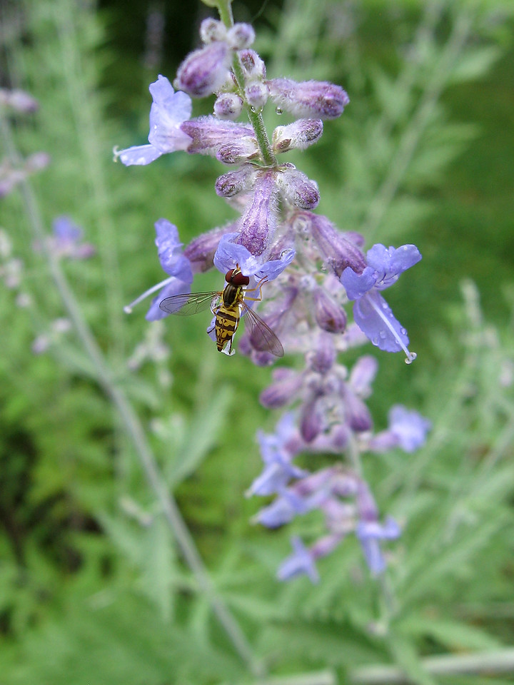 Hoverfly and Russian sage after an afternoon thunderstorm.