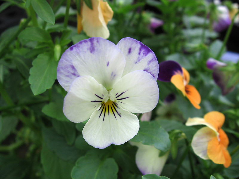 White viola splashed with purple.
