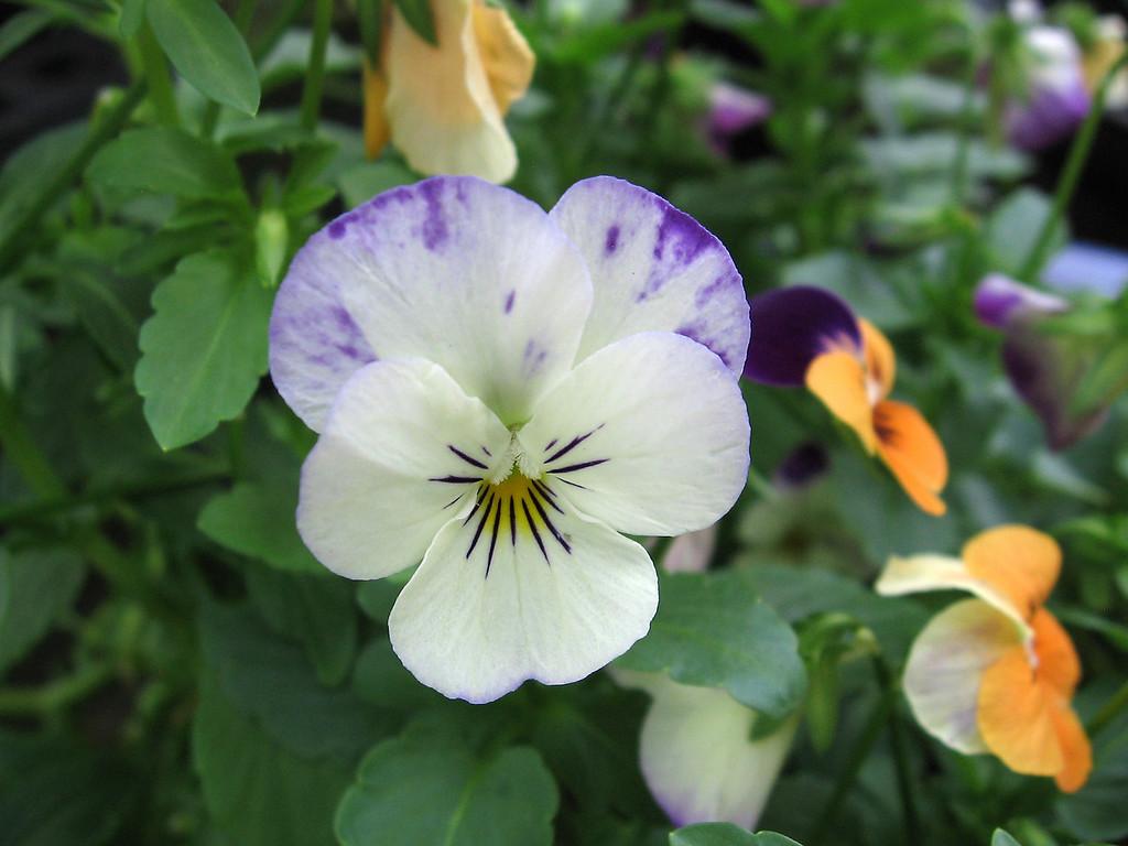 White viola splashed with purple.
