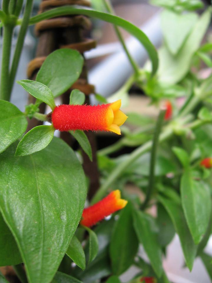 Candy corn flowering vine - Manettia luteorubra.