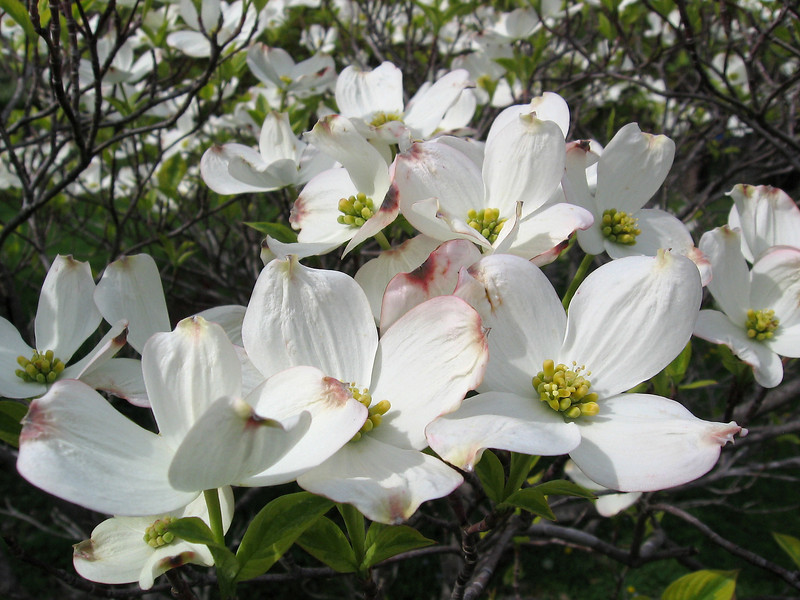 The clouds parted long enough for me to get this sunny shot of the variegated dogwood in bloom.