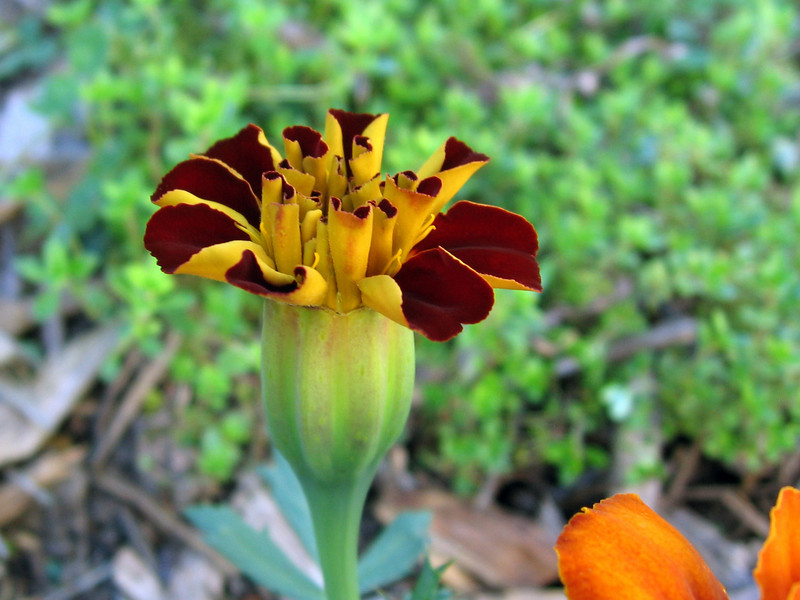 Marigold that is opening up. Golden thyme in the background.
