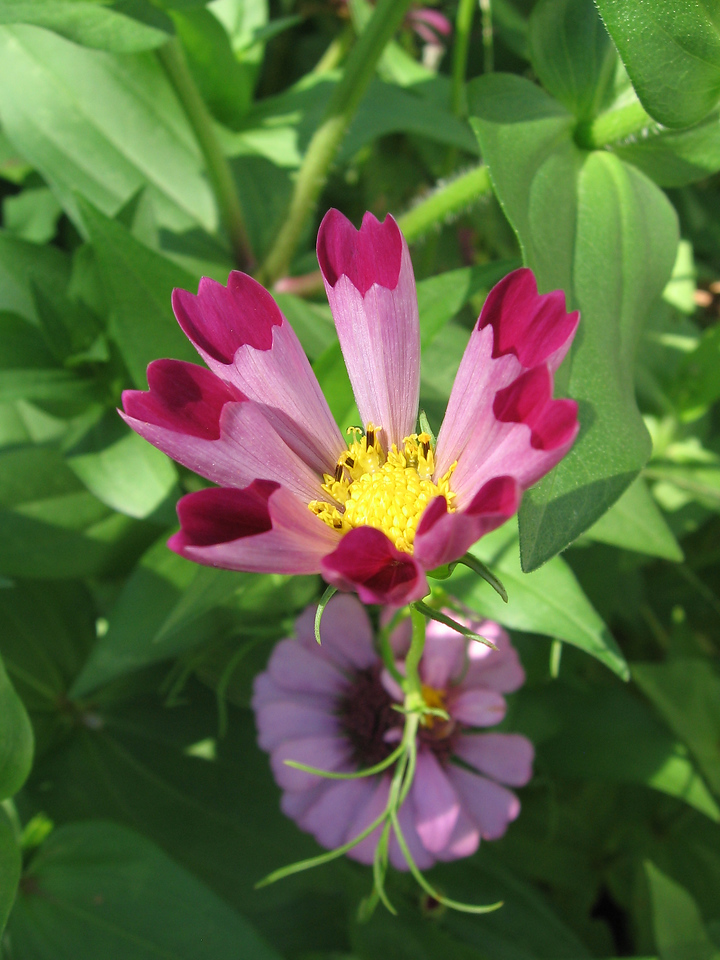 Cosmos flower of the Sea Shell type that is growing in the zinnia patch.