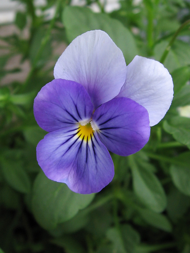 A nice two-toned blue viola.