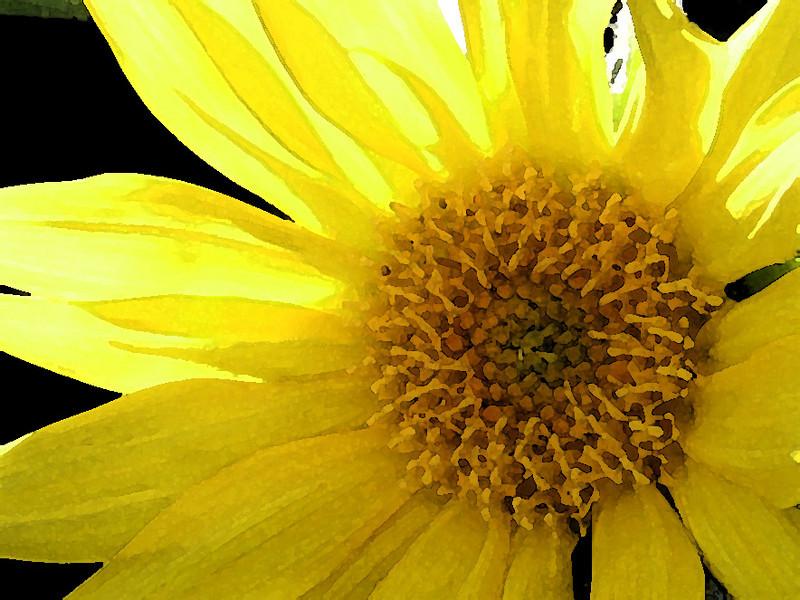 Volunteer sunflower.