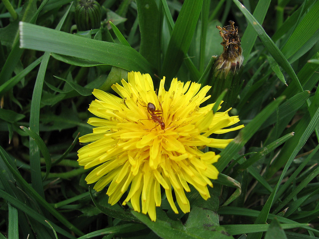 I noticed several dandelions have an ant in the center, bottoms up, drinking whatever it is that they find there,