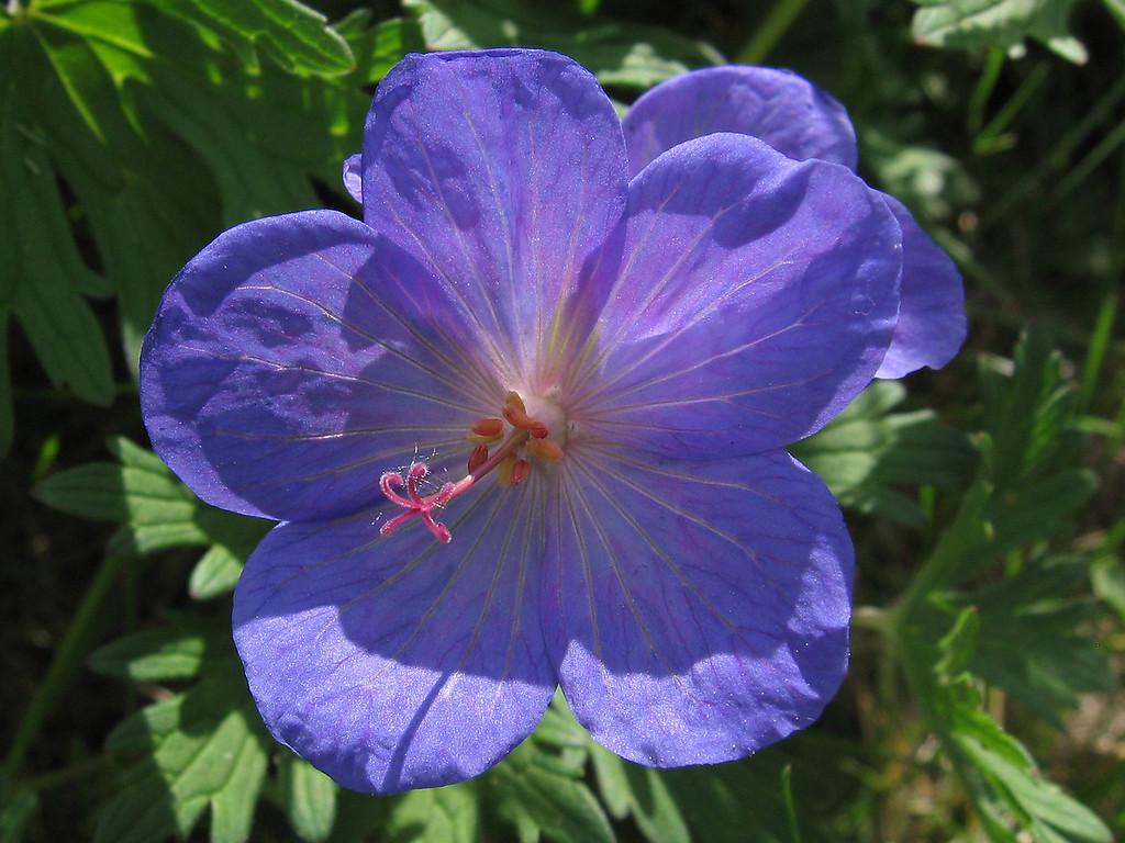 Cranesbill geranium.
