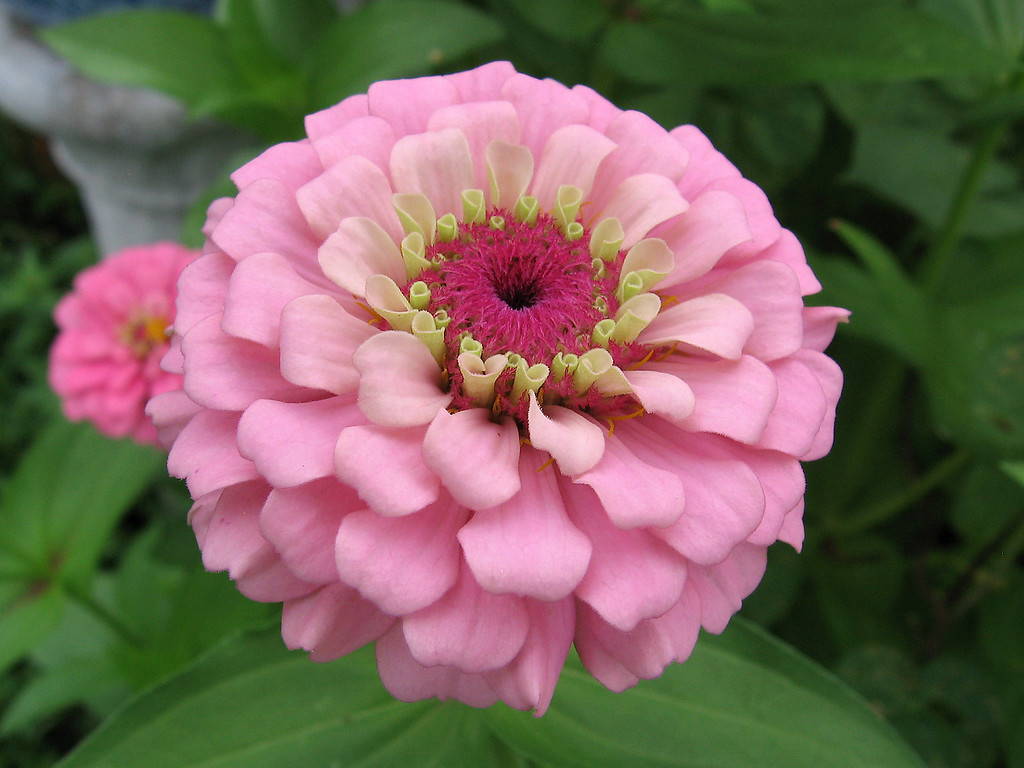 Pink zinnia in August.