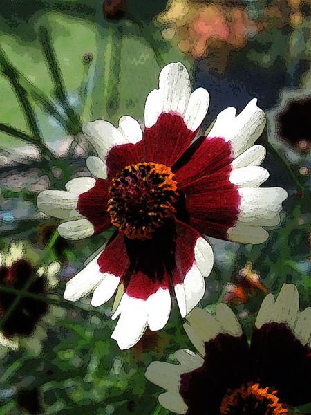 Coriopsis (tickseed)