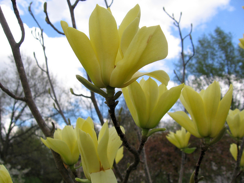 Yellow flowered magnolia tree - 'Butterflies'