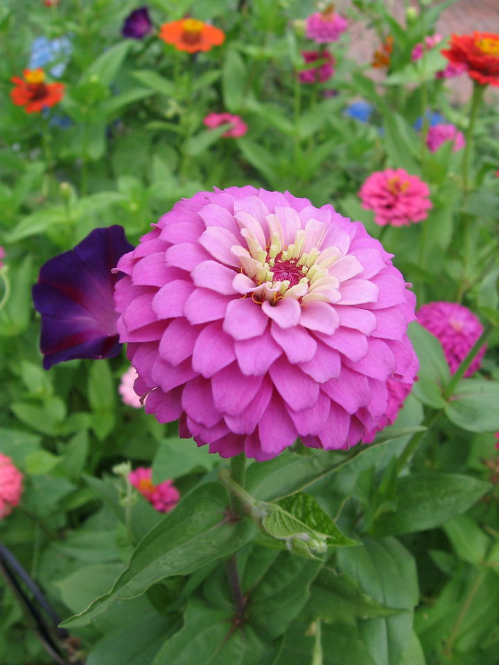 Pink zinnia in the zinnia patch.