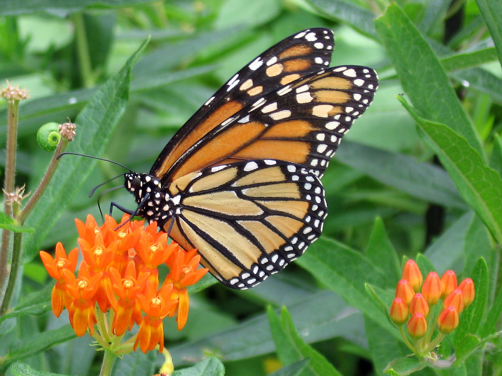 Monarch Butterfly and orange asclepia flowers.