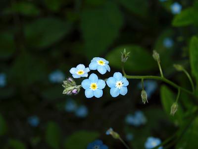 Forget-me-nots (Myosotis latifolia). Redwood Regional Park - Oakland, CA, USA