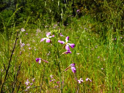 Moonwort (Lunaria annua). Redwood Regional Park - Oakland, CA, USA